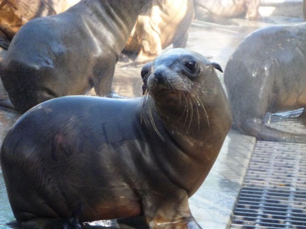 California Sea Lion Strandings Alarm Scientists