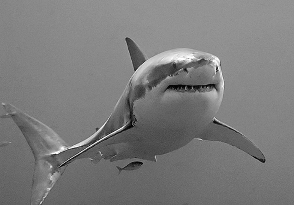 West Coast Great Whites Need Endangered Species Act Protection