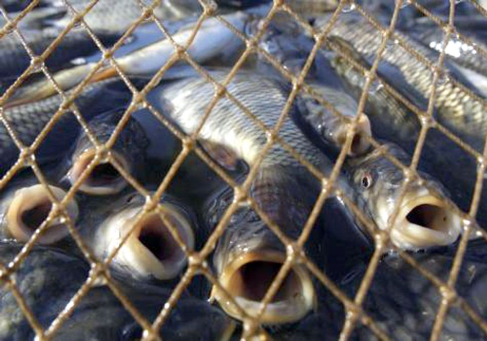 How the Soy Industry Is Making Factory Fish Farming Even Worse