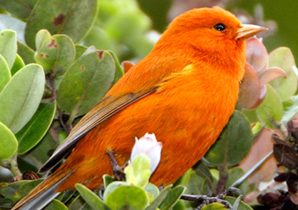 Rare Hawaiian Birds Possibly Rebounding from Immunity to Deadly Diseases