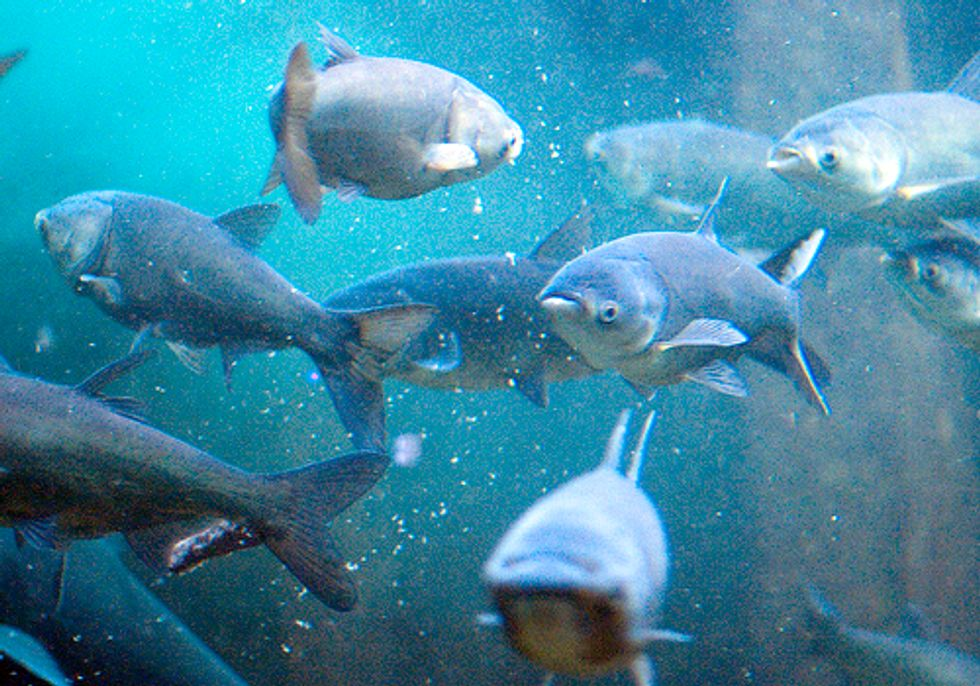 Asian Carp Report Highlights Urgent Need to Save the Great Lakes from Invasion