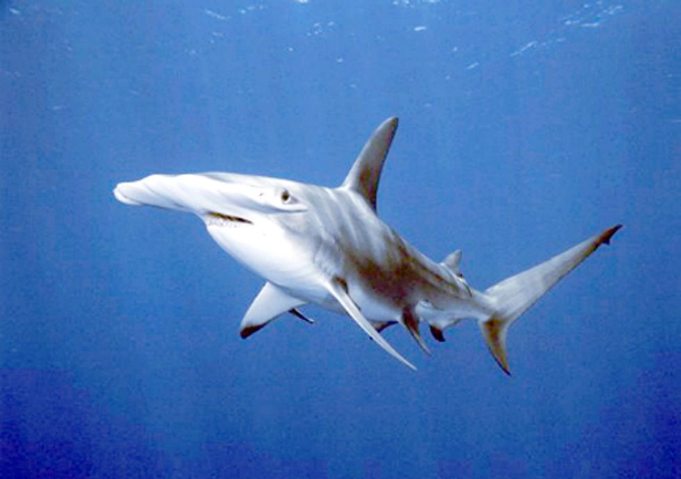 Big Victory for Mediterranean Sharks and Rays