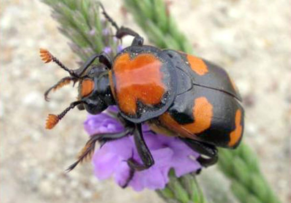 American Burying Beetle May Stop Fast-Tracking of Keystone XL Pipeline