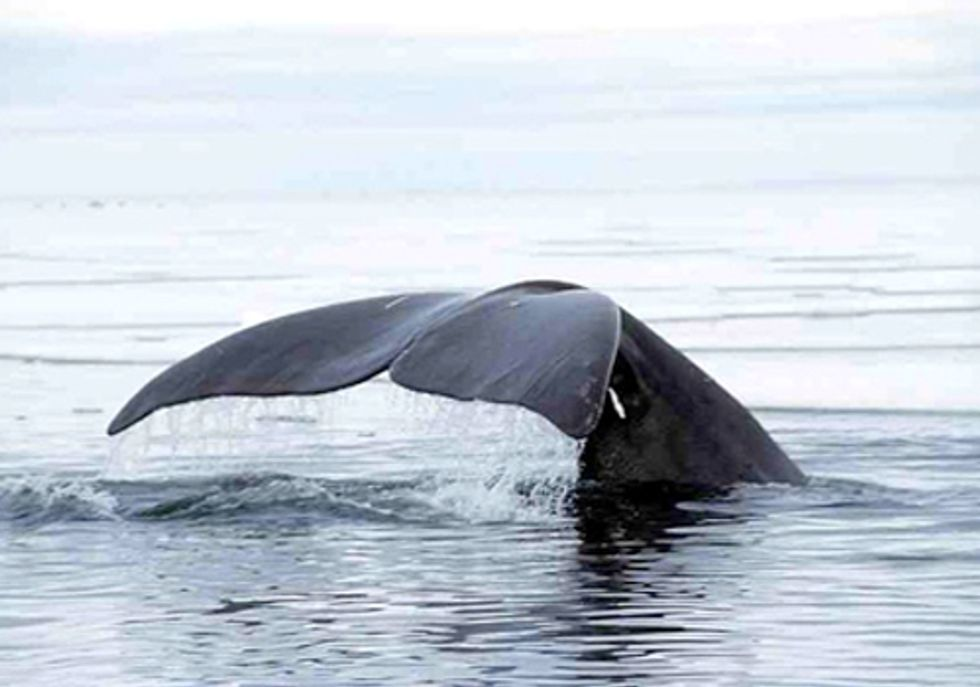 Shell Gets Green Light to Put Arctic Marine Mammals at Risk