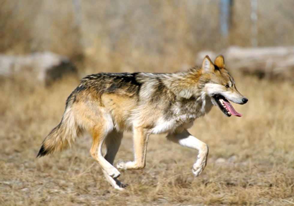 Feds to Shoot Alpha Female of Mexican Gray Wolf Pack