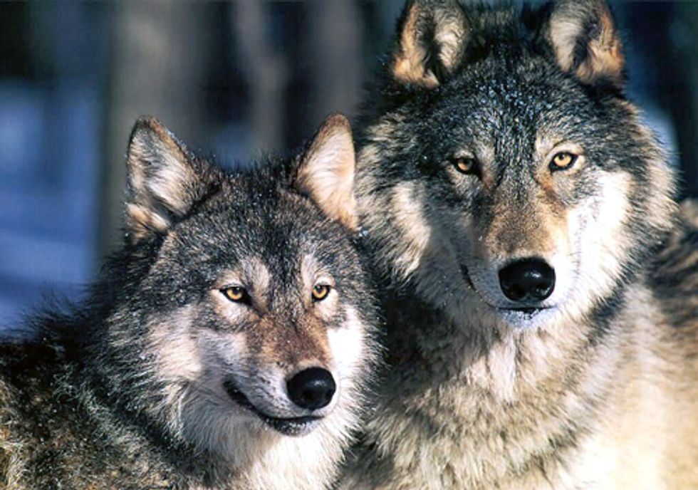 Federal Government Eliminates Protections for Wyoming Wolves