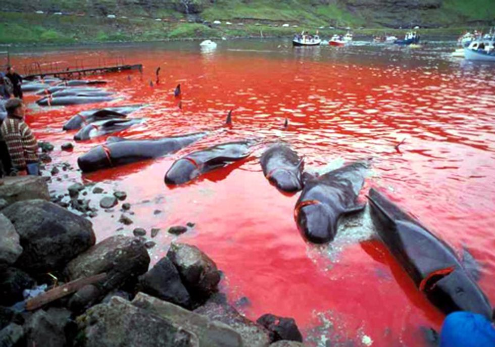 End the Slaughter of Pilot Whales