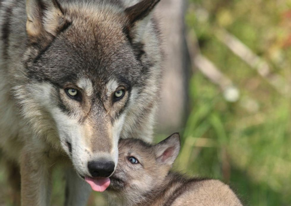 Conservation Groups Challenge Kill-at-Will Policy for Wyoming Wolves