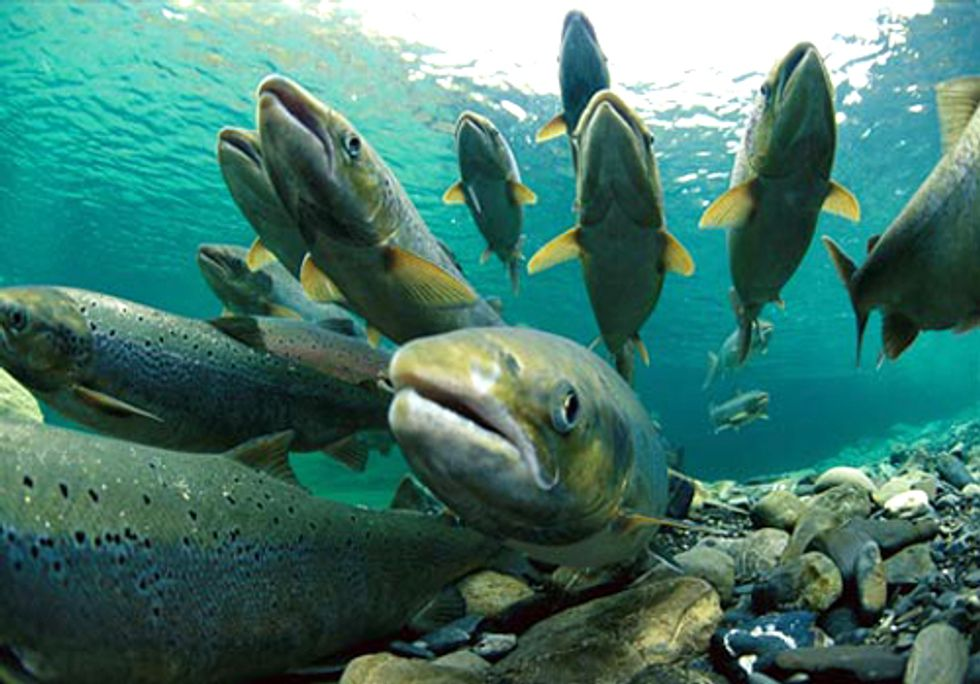 Do You Want to Eat Genetically Engineered Salmon?