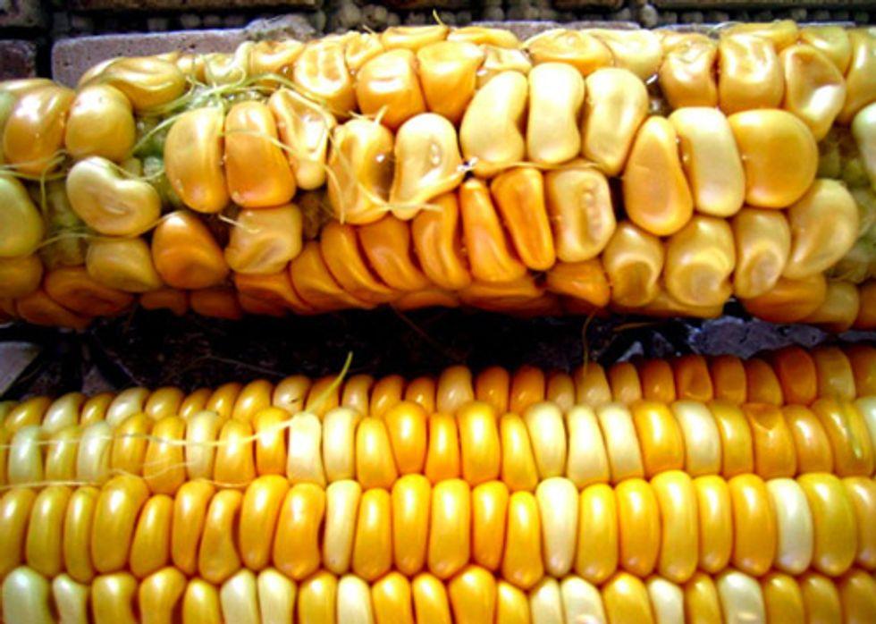 Yet Another Reason GMOs Suck