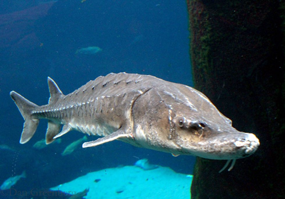 Atlantic Sturgeon in Delaware River Watershed Nearing Extinction