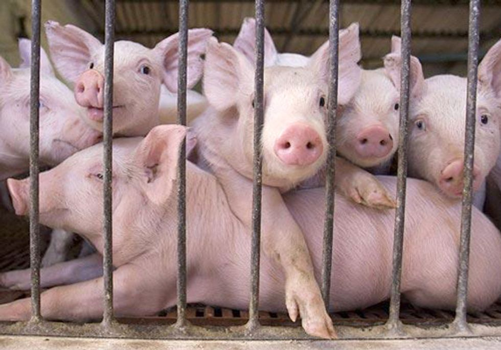 FACTORY FARMING SERIES PART V:  Lack of Regulation Spells Trouble in Illinois and Beyond
