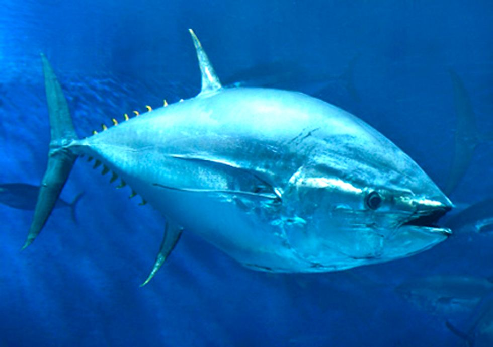 How Eating Sushi Endangers the Survival of the Atlantic Bluefin Tuna