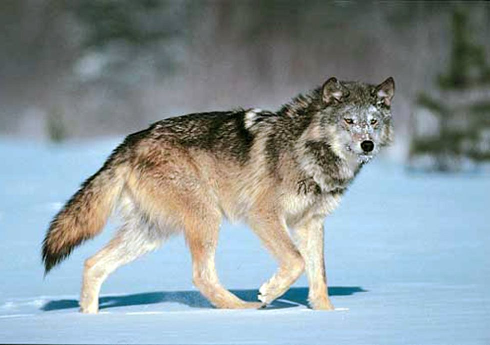 Grassroots Groups Sue Feds for Delisting Wolves in Wyoming