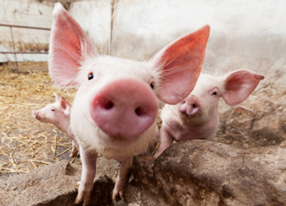 Torturing Animals with Monsanto's Genetically Engineered Feed