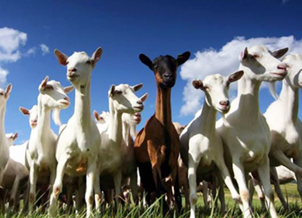 Goats Replace Herbicides at Historic Landmark in Washington, DC