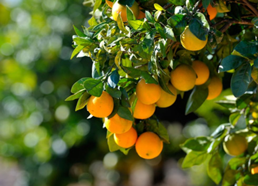 As Pesticides Fail, California Citrus Growers Turn to Natural Solutions