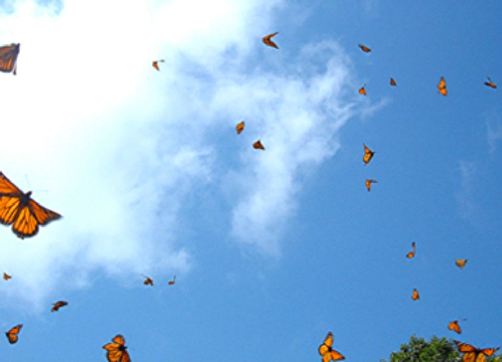 Monarch Migration Patterns Yield Clues About Pollinator Declines