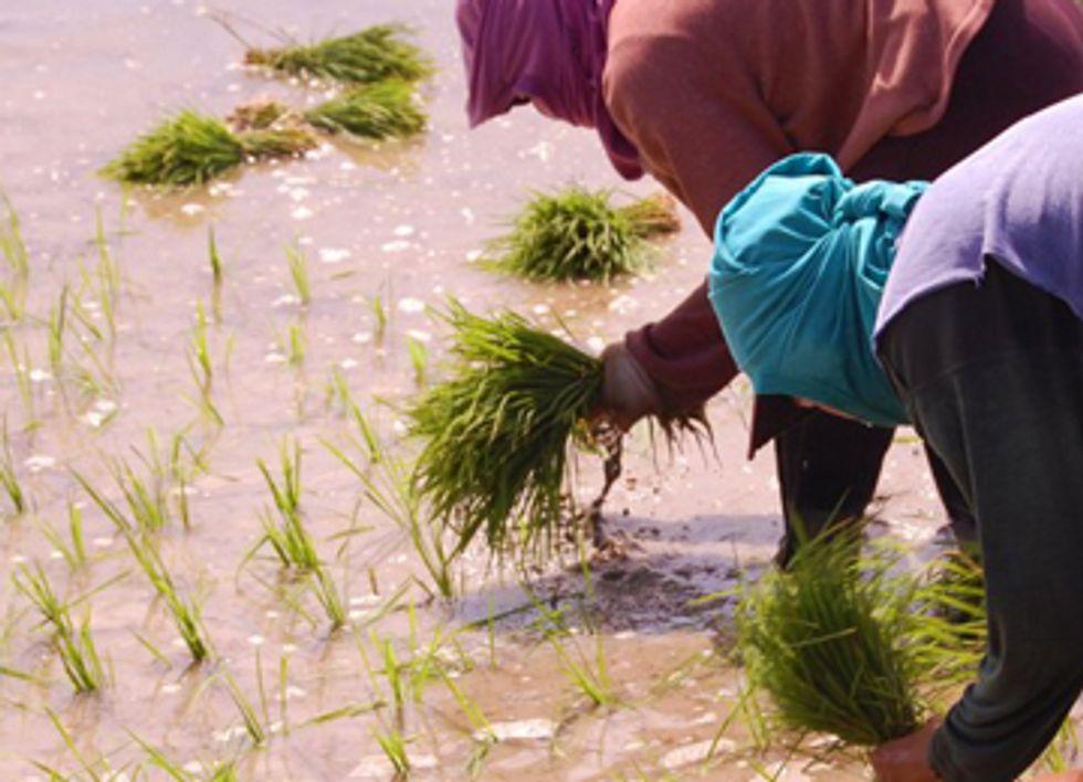 Farmers Destroy 'Golden Rice' GMO Trials in Philippines