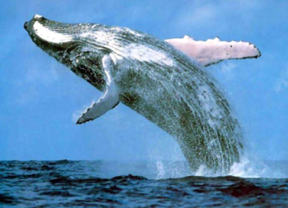 U.S. Navy to Increase Sonar Training and Underwater Detonations Despite Injury to Marine Mammals