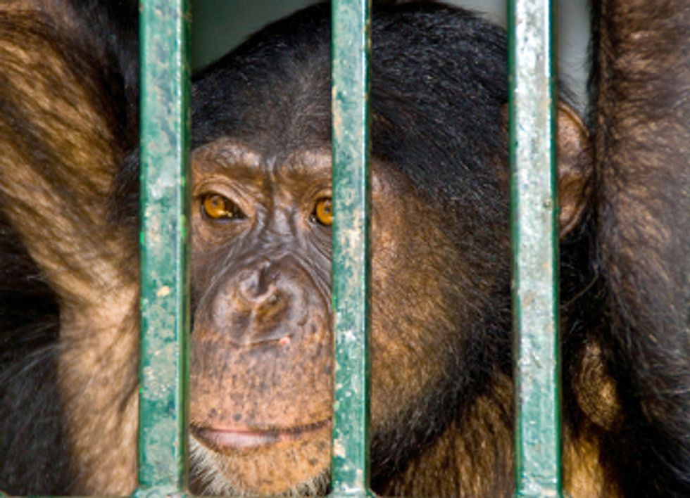 Kingpin Behind Bars for Poaching Chimps in Africa