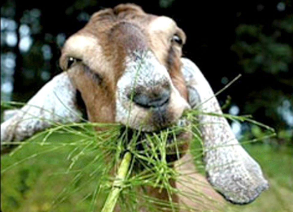 Weed Eating Goats Used to Reduce Risk of California Wildfires