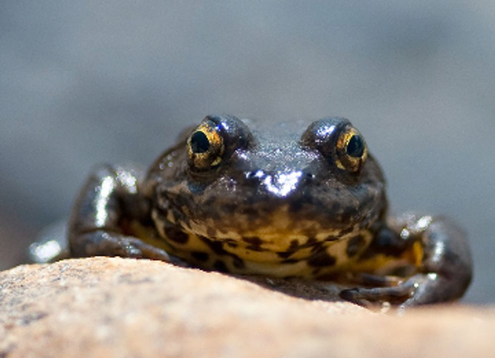 10 Reptiles and Amphibians Pushed Toward Extinction in the U.S.