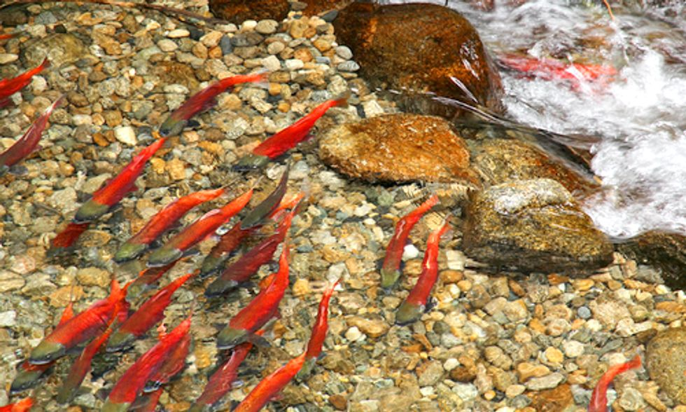 Salmon Face Upstream Battle as Blueprints for Recovery Are Ignored