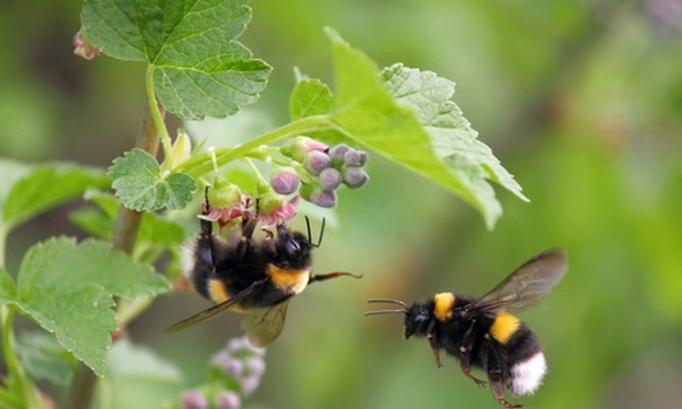 Conservation and Science Leaders Demand Protection of Wild Bumblebees