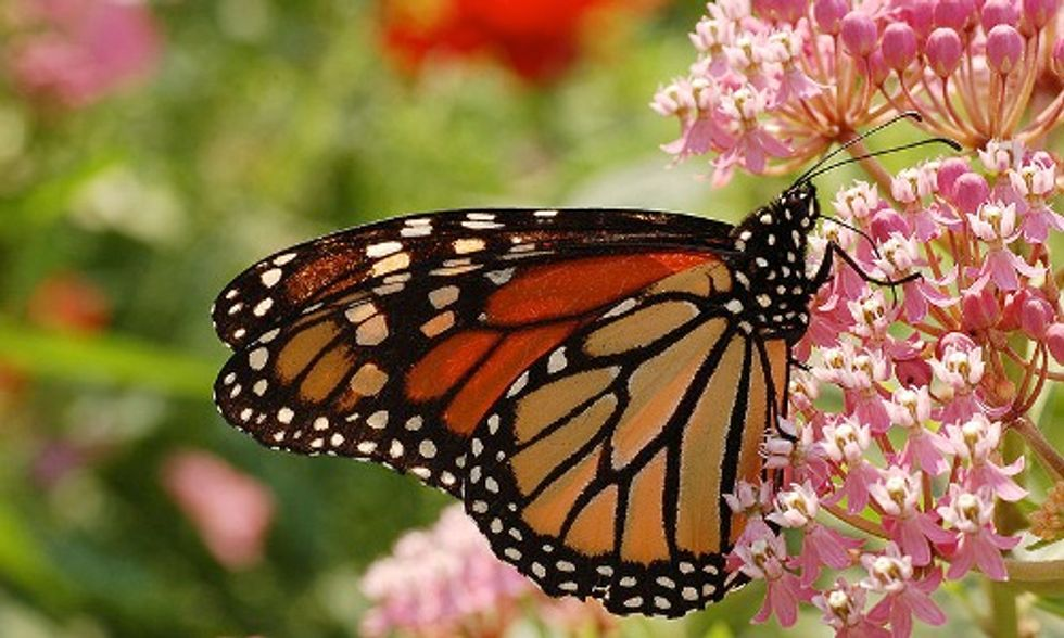 How You Can Help Prevent Decline of Monarch Butterflies Due to Roundup-Ready Genetically Engineered Crops