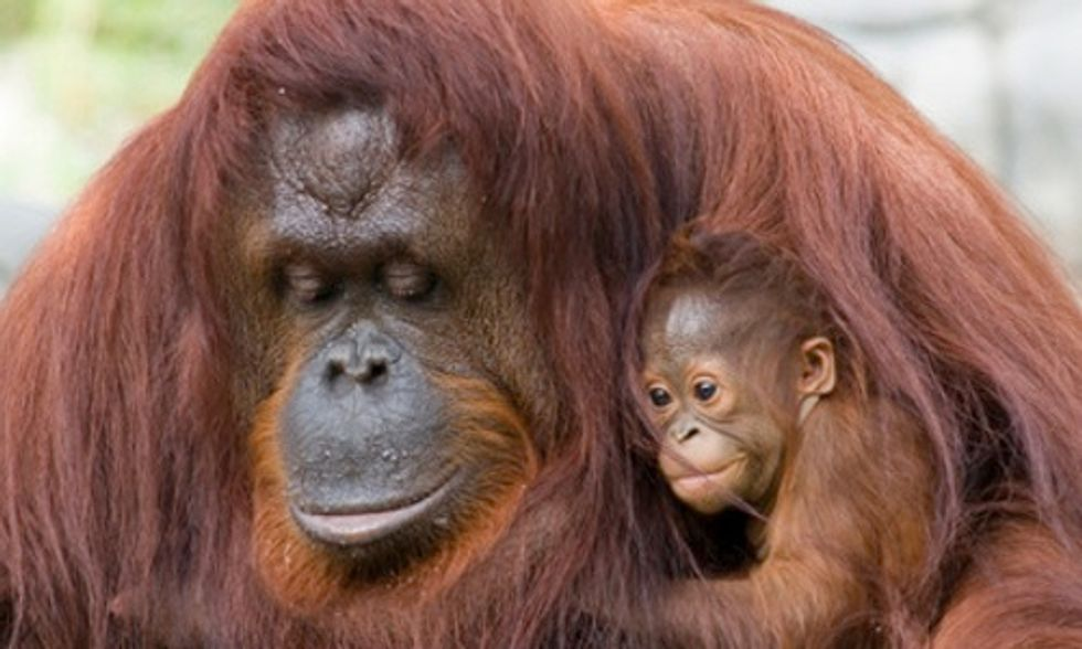 How Food With Palm Oil is Wiping Out Orangutans and Enslaving Workers