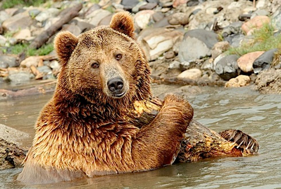 Feds Push Plan to Strip Endangered Species Act Protections for Yellowstone Grizzlies