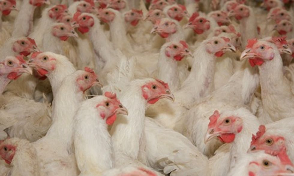 Green Your Holidays by Supporting Independent Poultry Farmers