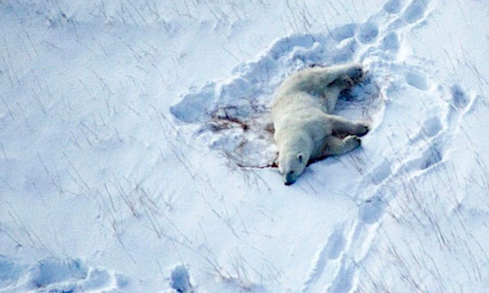 Polar Bears in Peril From Climate Change and Hunting