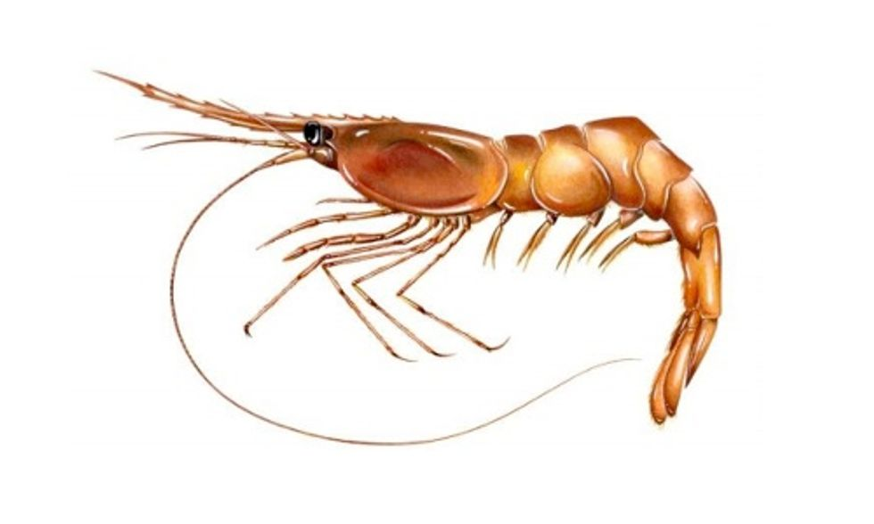 Shrimp Fishing Banned in Gulf of Maine Due to Ocean Warming