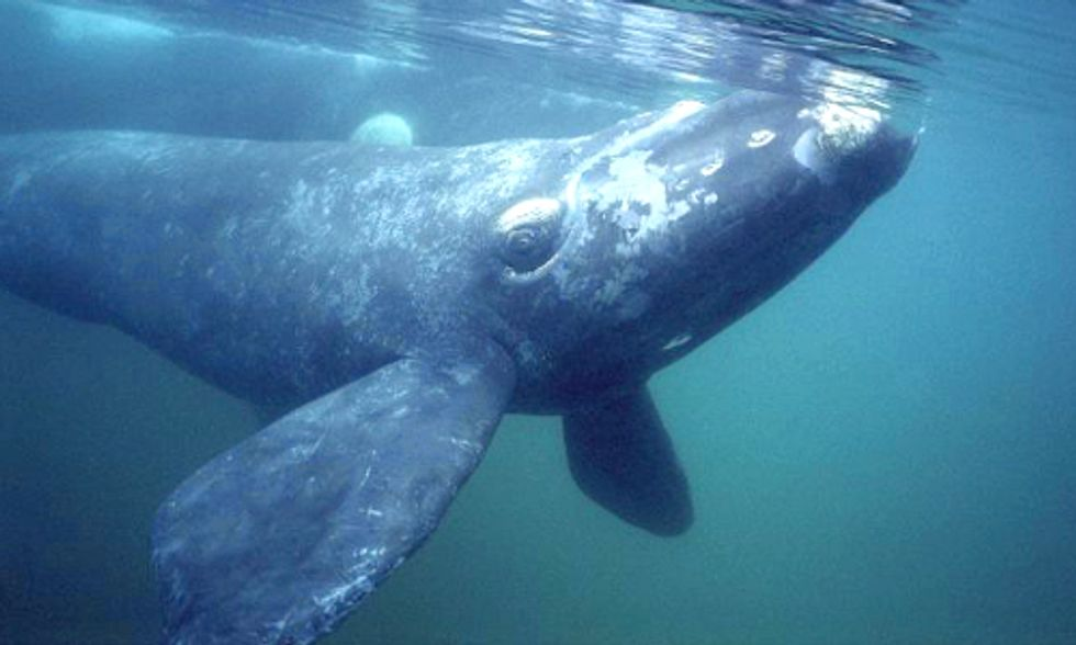 Whales Desert Historic Feeding Grounds—Is Climate Change to Blame?