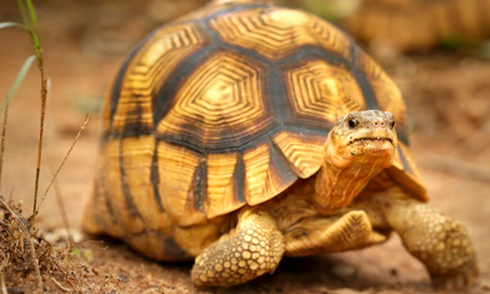 Conservationists Resort to Drastic Measure to Protect World's Rarest Tortoise From Poachers