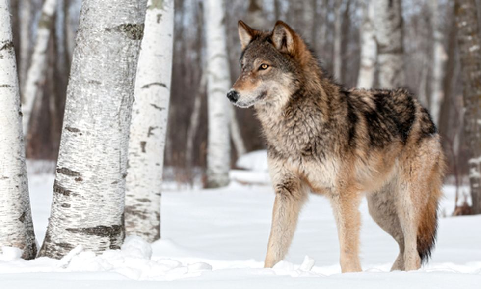 Americans Speak Out Against Stripping Federal Protections From Wolves