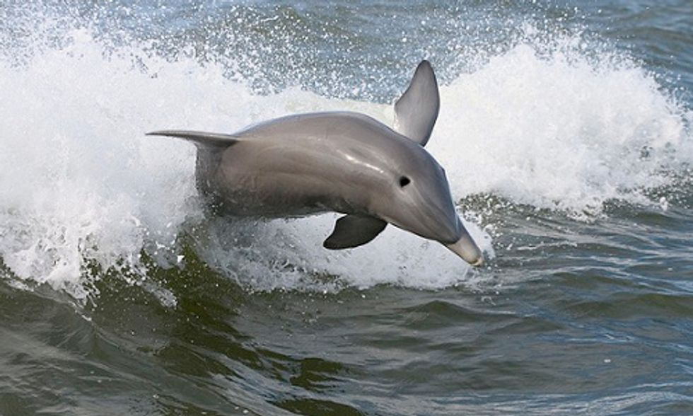 Dolphins Suffering From Lung Disease Due to BP Gulf Oil Spill