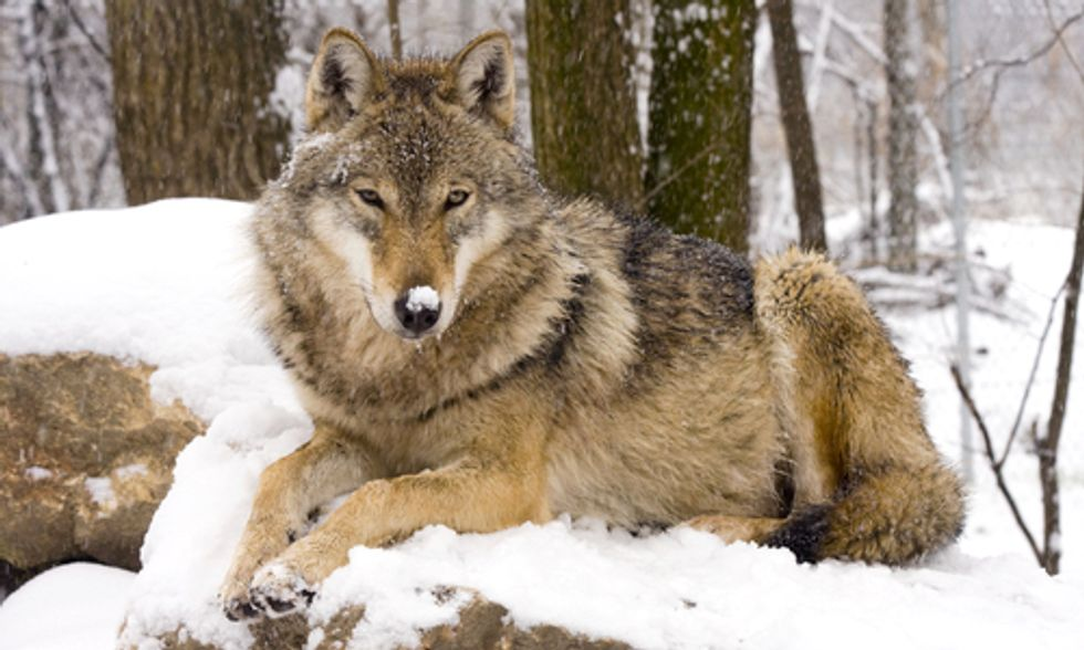 Wolf Killing Contest Disguised as Holiday Family Fun in Idaho