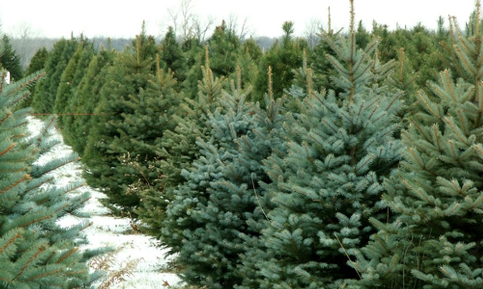 How Climate Change Threatens Christmas Trees