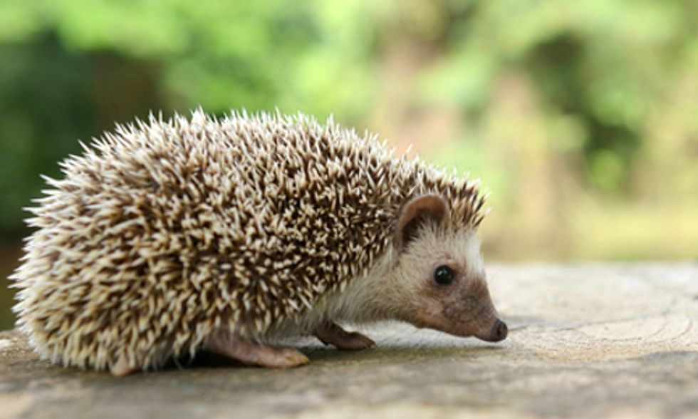 Extreme Weather Puts UK's Hedgehog Population at Risk
