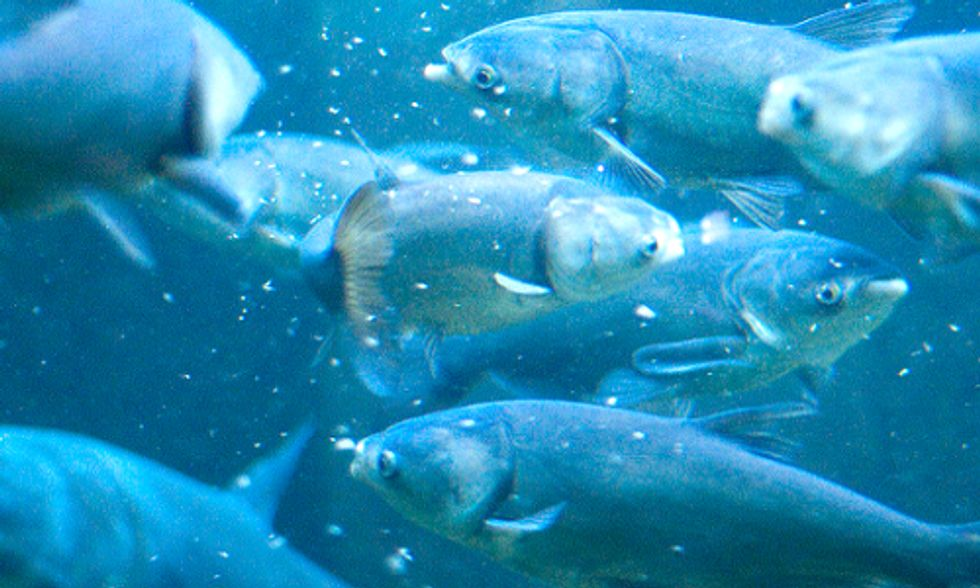 Confirmed: Band-Aid Approach Won't Keep Asian Carp Out of Great Lakes