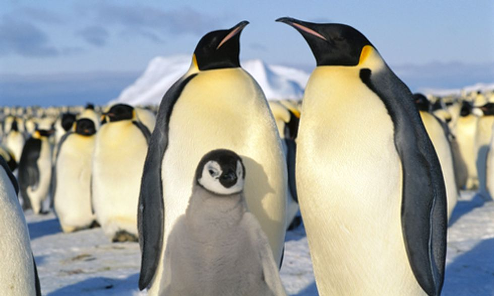 Emperor Penguins Move Breeding Grounds Due to Diminishing Antarctic Sea Ice