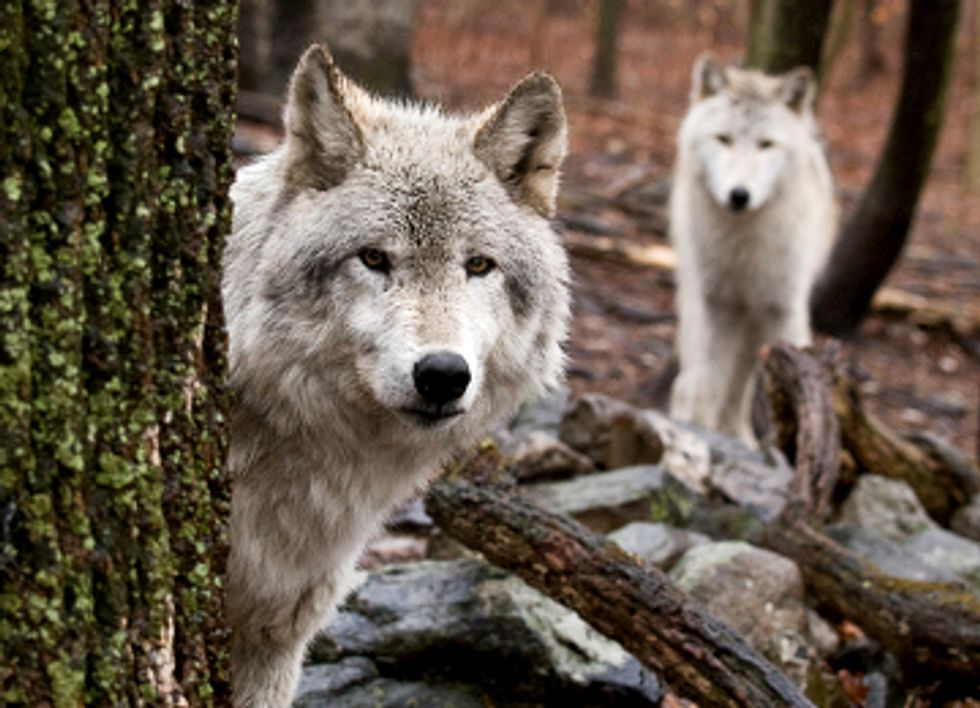 Wolves Poised to Lose Endangered Species Act Protections