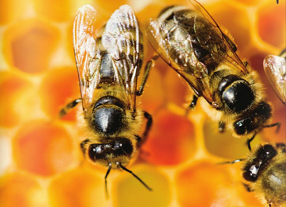 Worldwide Honey Bee Collapse: A Lesson in Ecology