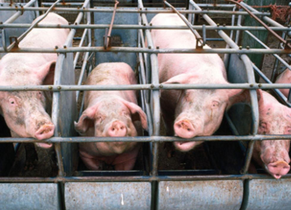 Study Reveals Disturbing Effects of GMO Feed on Pigs