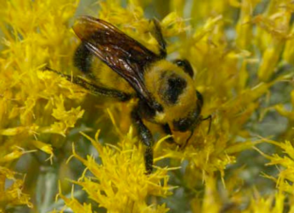 Scientists Call for End to Cosmetic Insecticide Use After Bumblebee Genocide in Oregon