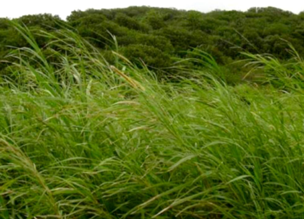 EPA Approves Use of Invasive Species for Biofuel
