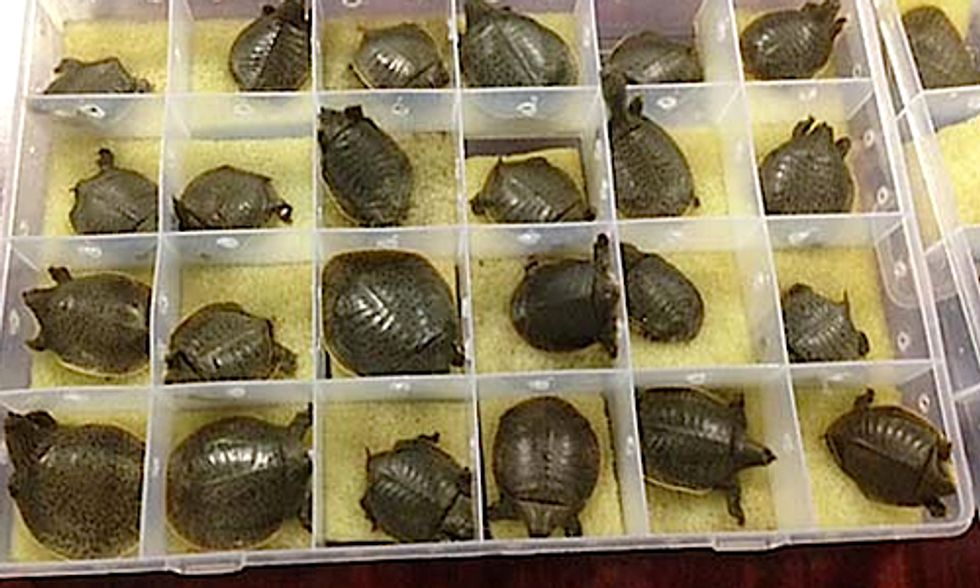 Surge in Illegal Trade of Turtles and Tortoises Spells Trouble for Rare Species